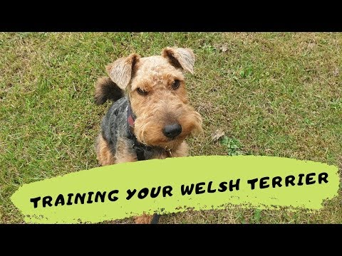 Milly - Training Your Welsh Terrier! 3 Weeks Intensive Training