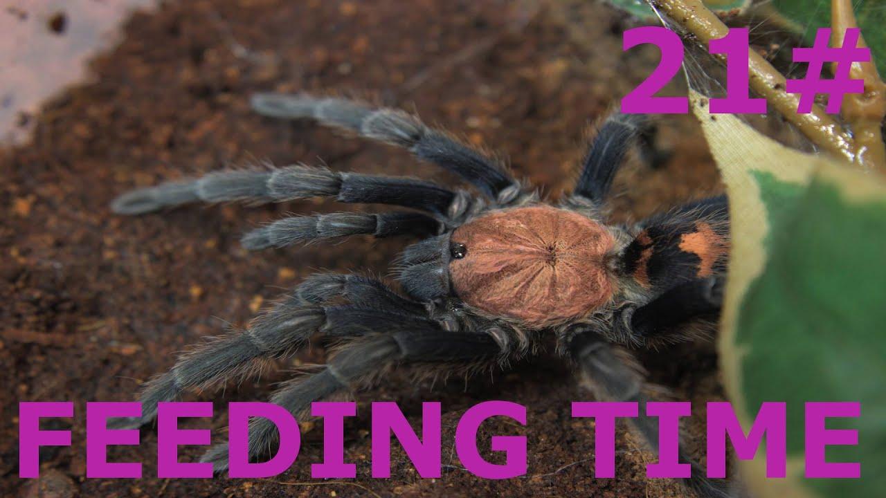 Poecilotheria Regalis Feeding Tubes - delmoralcatering com