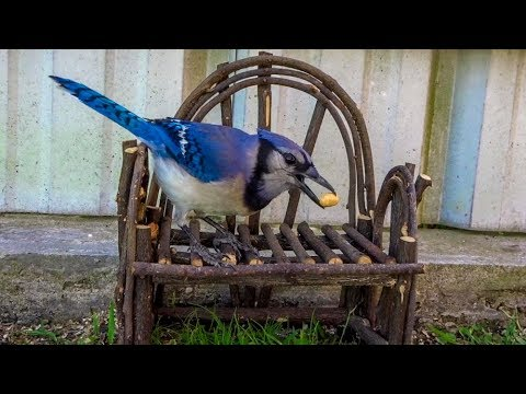 Blue Jay Eating Peanut On Wooden Bench