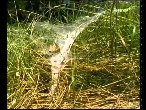 Gefürchtete Webkünstler   Spinnen doku Deutsch