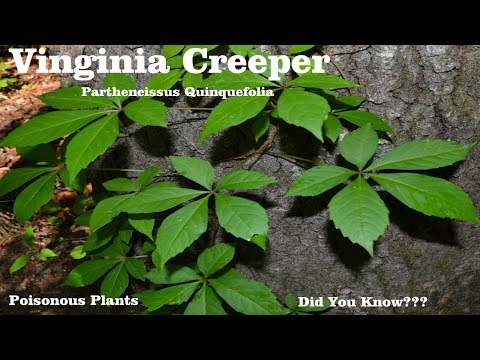 ⟹ Virginia Creeper | Parthenocissus quinquefolia | Be careful with this plant and here's why!
