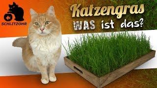 🔥Was bringt Katzengras? | welche Wirkung hat Katzengras? | braucht jede Katze Katzengras?