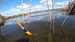 Ловля карася на поплавочную удочку Красивые поклевки в тростнике