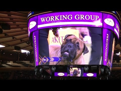 Working Group in Westminster dog show 2019