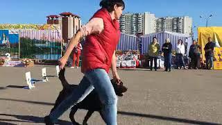 Выставка собак в Ярославле 24.09. Лабрадоры