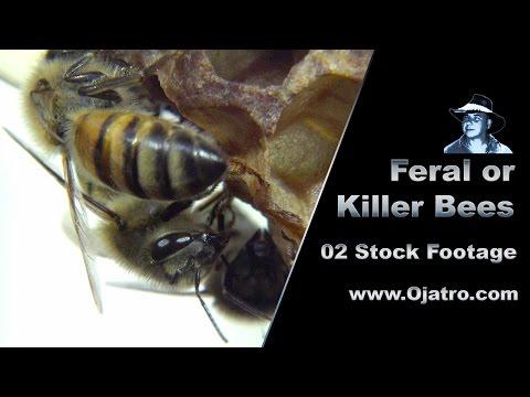 Feral Honeys Or Killer Bees 02 Footage