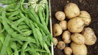 2013 6 6 Garden Diary Container Harvest Yukon Gold Potatoes & Kentucky Wonder Green Beans