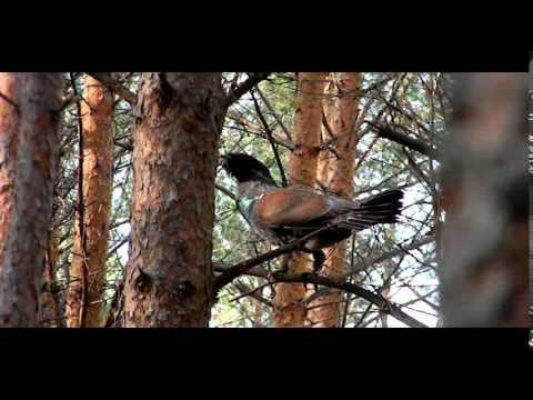 Глухарь - Tetrao urogallus - wildlife