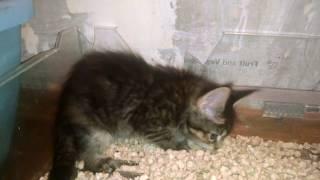 Интимное фото. Котенок Мейн-кун. Intimate photo. Maine Coon kitten.