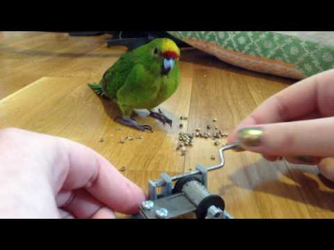bird listens to The Internationale while eating Cannabis Sativa seeds