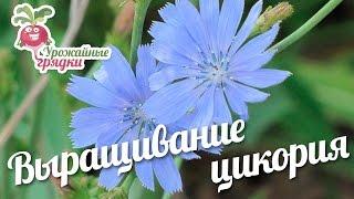 Выращивание цикория #urozhainye_gryadki