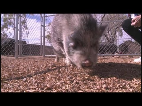 Potbelly pig escapes in Downtown Phoenix