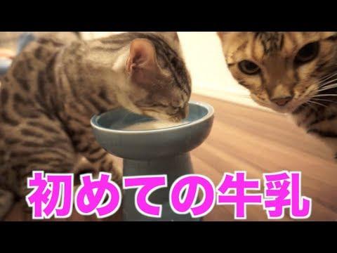 猫ちゃんたち初牛乳で大興奮!!
