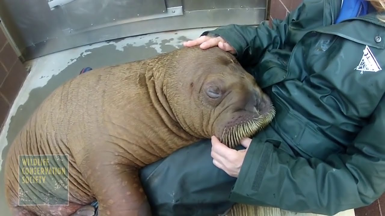 Baby Walrus Adjusts To Big City Life Video Youtube