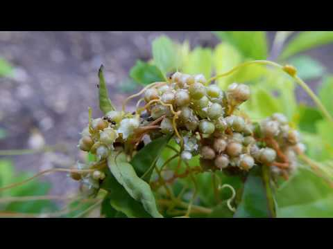 Cuscuta parastica on Duranta repens (Hedge Plant)