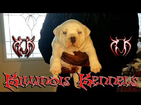 AMERICAN BULLY PUPPIES FOR SALE FROM THE WORLD FAMOUS KILLINOIS KENNELS,