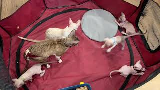 Play time in kitten Pen!  5 weeks old Cornish Rex kittens with Mom and Dad