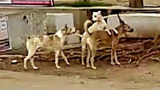 Street dog's fight