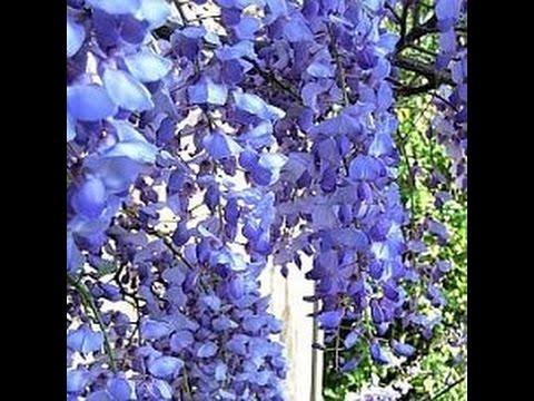 Глициния. Вистерия. Сажаем ароматную лиану возле дома\Wisteria. Growing beauty near the house