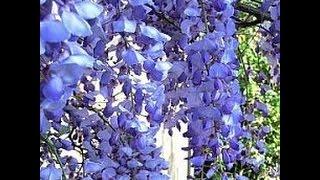 видео Дерево глициния или вистерия: фото, выращивание, посадка и уход, сорта