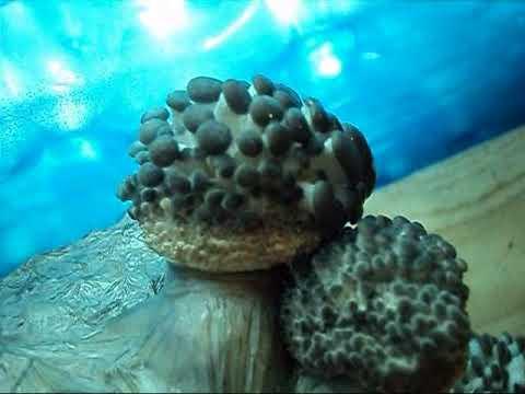 видео уроки как выращивать грибы вешенка