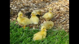 Learn about Call Ducks with Mrs B