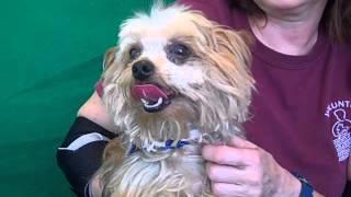 A4867153 Taz | Yorkie Norwich Terrier Mix