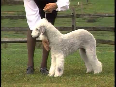 Bedlington Terrier - AKC Dog Breed Series