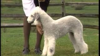 Bedlington Terrier  AKC Dog Breed Series