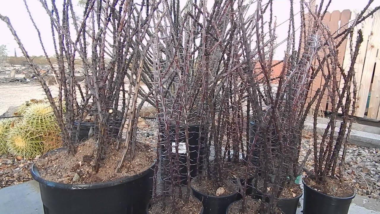 ocotillo cactus succulent cuttings