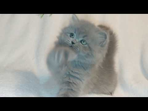 CFA Male Persian Himilayan Creme Point Kitten from YouTube · Duration:  19 seconds