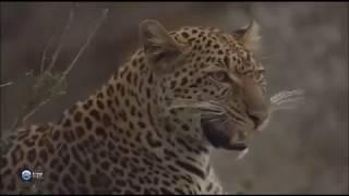 Животные Африки  Леопарды  Мир дикой природы  Документальный фильм