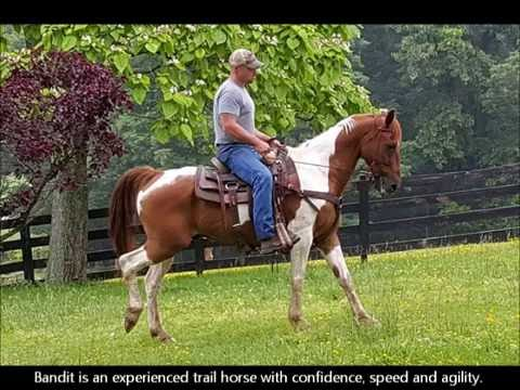"FOR SALE ""Bandit"" 12 yr 15h Sorrel White Paint Horse Gelding - Trail H"