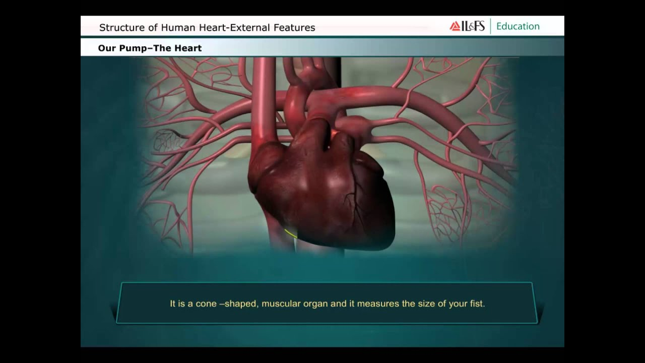 structures functions and evolution of human heart Human heart diagram: the knowledge about heart function and structure is important for those who want to maintain and enjoy cardiac health.