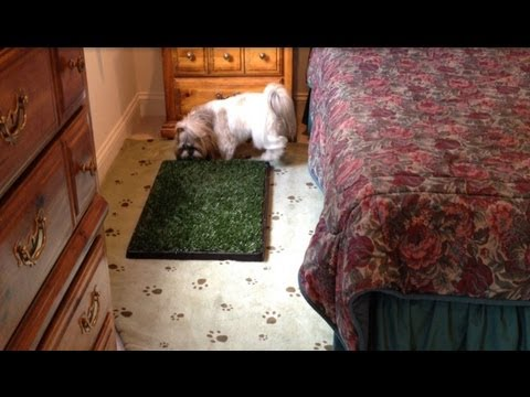 Shih Tzu dog Lacey | Using indoor potty area bathroom | Odor free