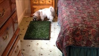 Shih Tzu Dog Lacey Using Her Indoor Potty Area Bathroom