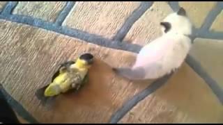 Вольная борьба попугай и котёнок. Забавные животные