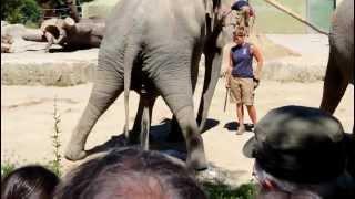 An elephant having a pee