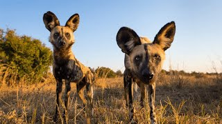 Wild Dogs and Hyenas  The Rivals | Wildlife Documentary HD 1080p