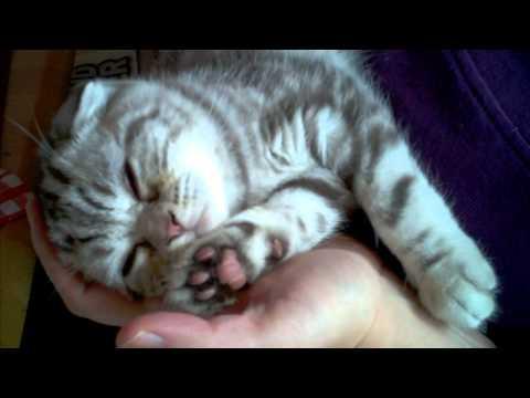 Funny Scottish Fold kitten Budi.....