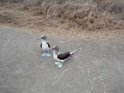 Blue Footed Booby Sounds And Dances Youtube