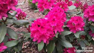 Рододендрон Rhododendron 'Nova Zembla'