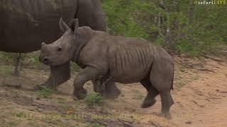 safariLIVE celebrates World Rhino Day 2017 thumbnail