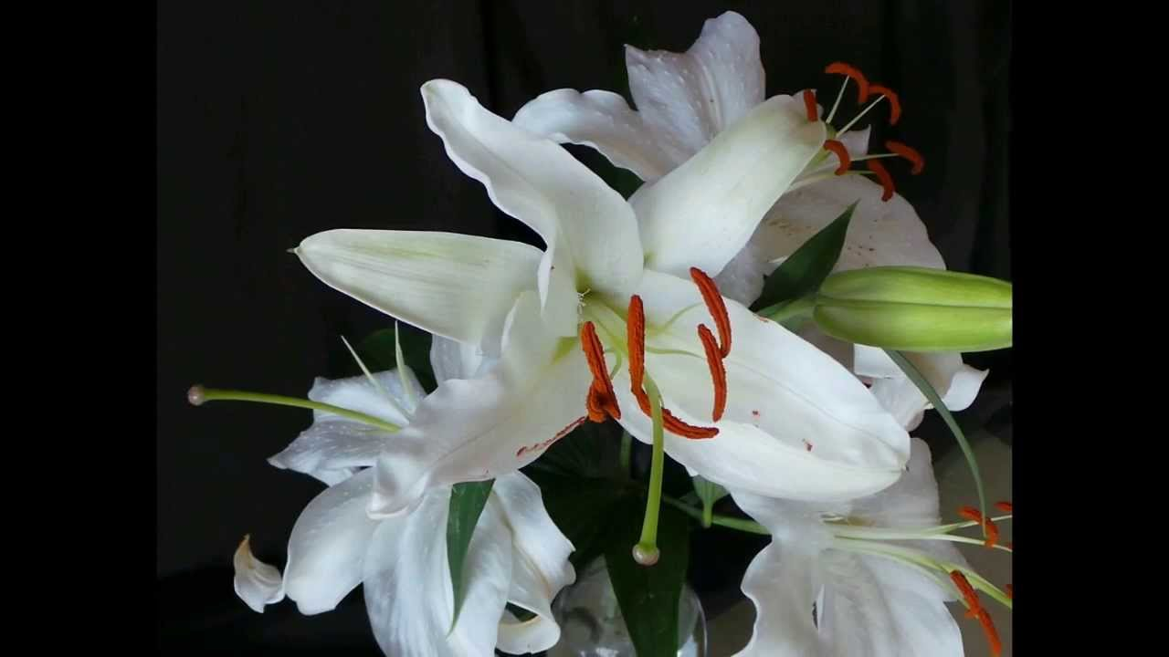 Time lapse of a white lily flower blooming youtube izmirmasajfo