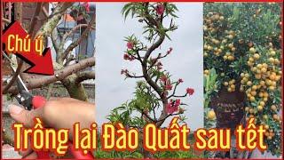 Cách trồng lại quất đào sau tết . Tết sau vẫn có quả