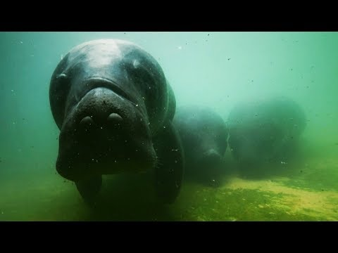 Rescue Manatees Released