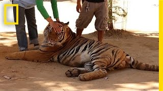 Special Investigation: Famous Tiger Temple Accused of Supplying Black Market | National Geographic thumbnail