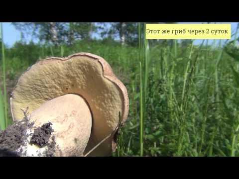 Всё о берёзах - Русская природа