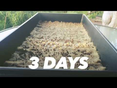 Alaska Grown Microgreens Year Round with Hemp Mats May 2016