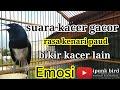 Kacer Gacor Isian Kenari Bikin Kacer Lain Loncat Loncat  Mp3 - Mp4 Download